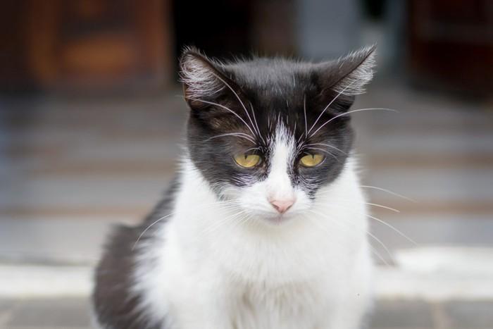 しょんぼりする白黒猫