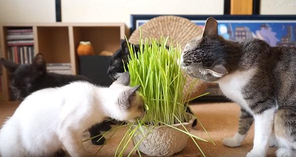 他の猫の真似をして草を食べる子猫