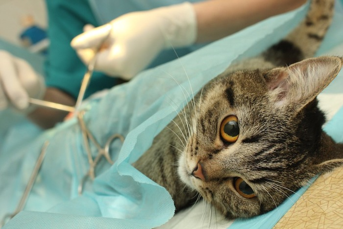 病院で手術をされている猫