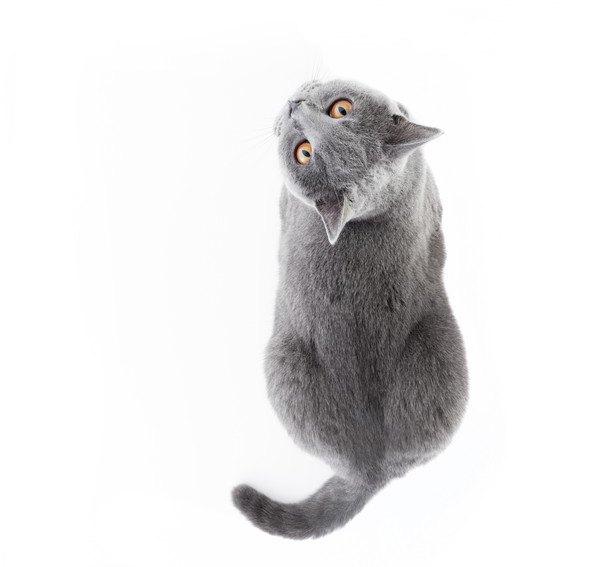 見上げる灰色猫