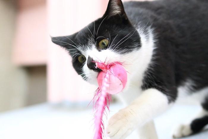 おもちゃを噛んで遊んでいる猫