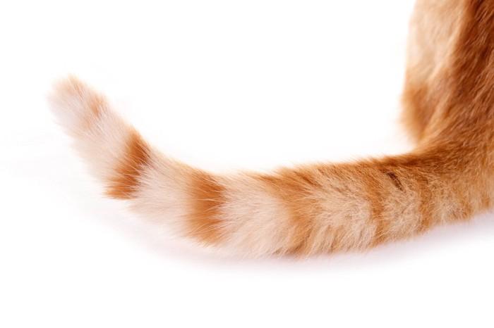 茶色の猫のしっぽアップ
