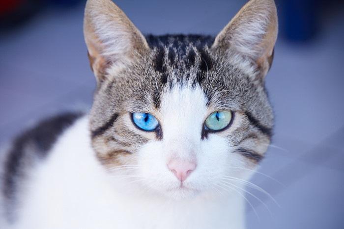 ブルーの目をした猫