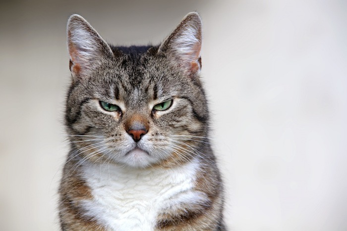 不機嫌そうな表情でこちらを見つめる猫