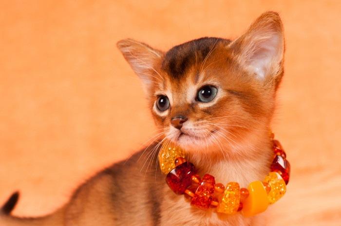 花の首飾りをつけたアビシニアンの子猫