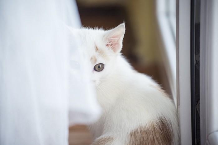 カーテンの陰の猫