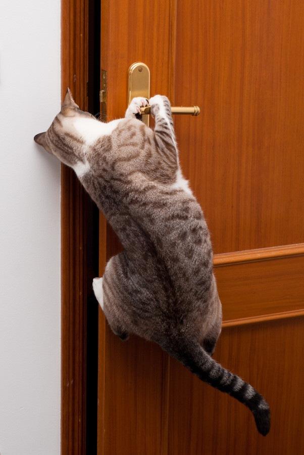 ドアノブに飛びついている猫