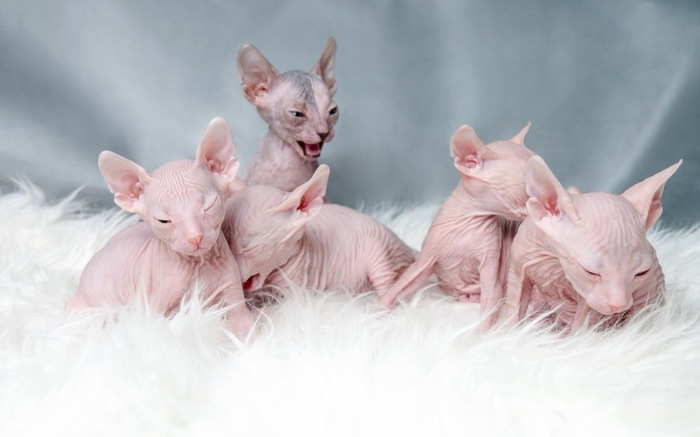 無毛の子猫5匹