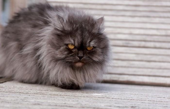 睨むペルシャ猫