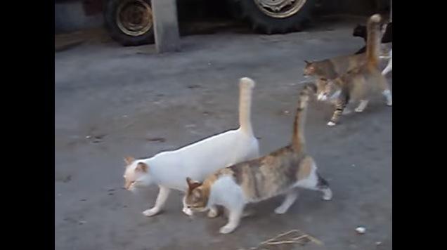 先頭に出る白猫