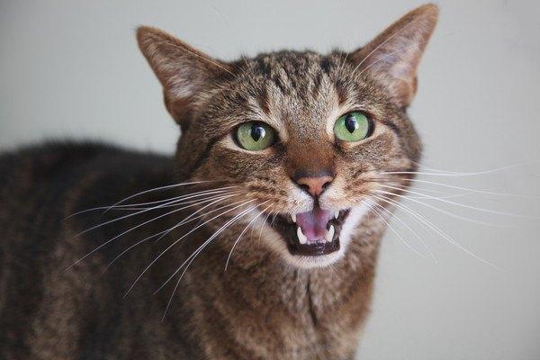 こちらをまっすぐ見ながら鳴くキジ猫
