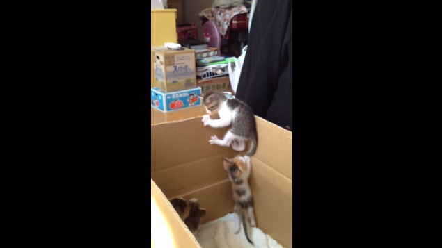 子猫のしっぽにじゃれつく子猫