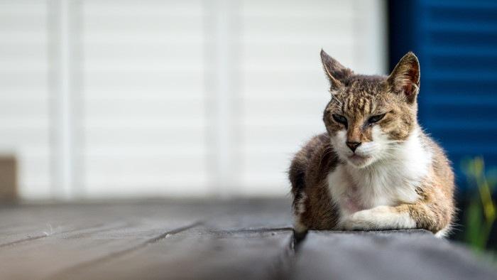 木の床で伏せている老いた猫