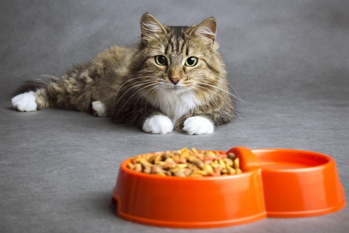 お皿に入ったフードと猫
