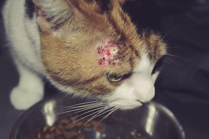 アレルギーでかさぶたのある猫