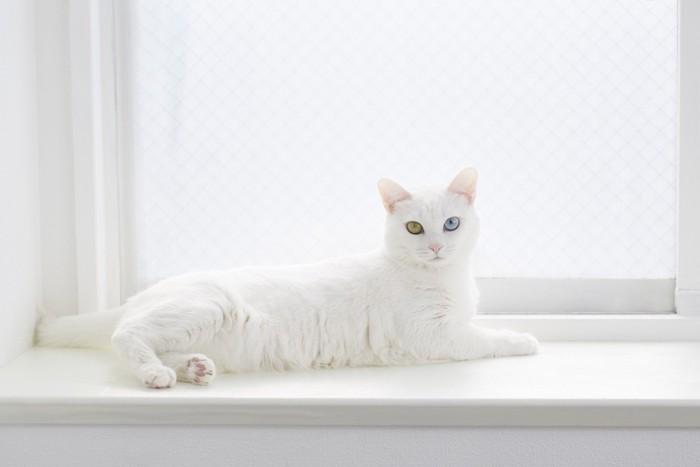 窓辺でくつろぐオッドアイの白猫