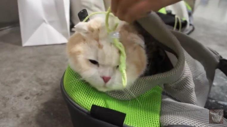 ひもが額に垂れている猫