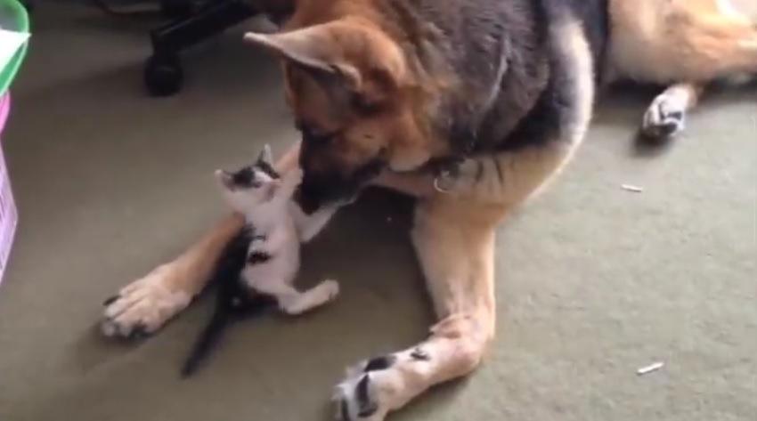 犬の顔にじゃれつく子猫