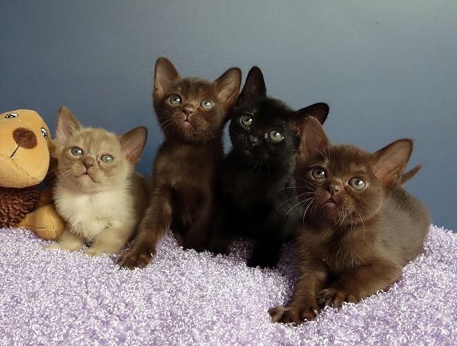4匹のマンダレイの子猫