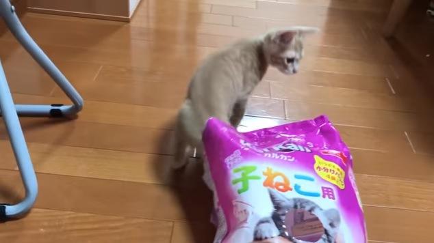 袋から出る猫