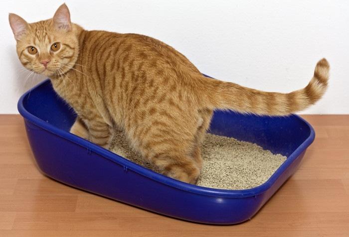 青い猫用トイレに入る猫