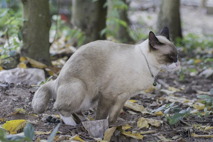 外でうんちをする猫