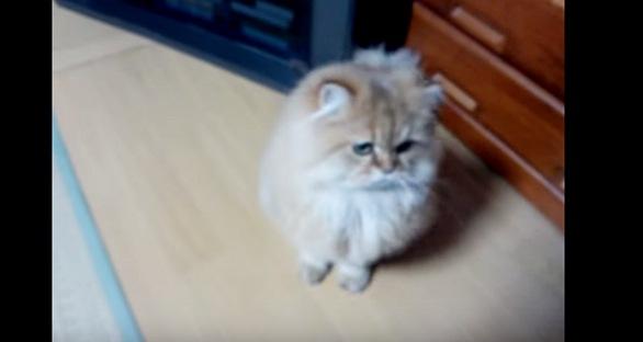 じっと正面を見る猫