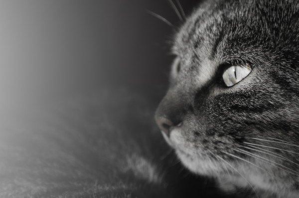 モノクロ画像の猫