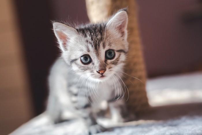 つぶらな瞳でこちらを見つめる子猫