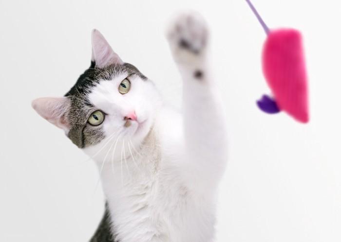 立ち上がっておもちゃで遊ぶ猫