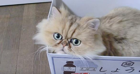 こちらを見るペルシャ猫