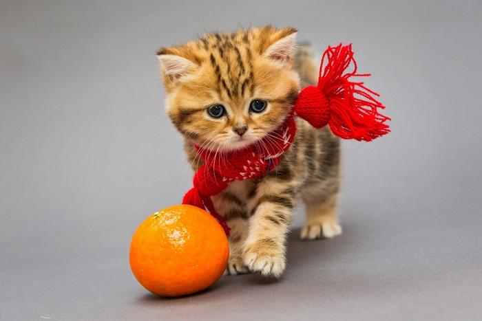 みかんと赤いマフラーをした子猫