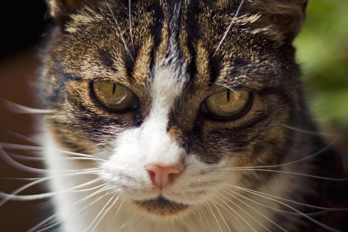 鋭い視線で見つめる猫