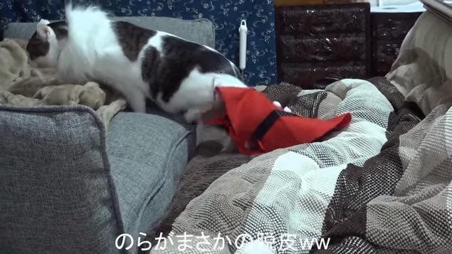 サンタ服を脱ぐ猫(近くで撮影)