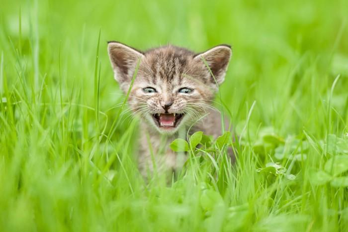 草むらで鳴く子猫