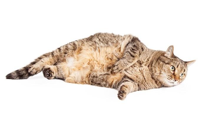横たわっている太った猫