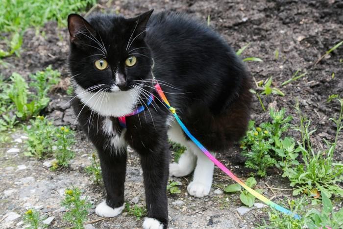 レインボーのリードをして散歩する黒猫