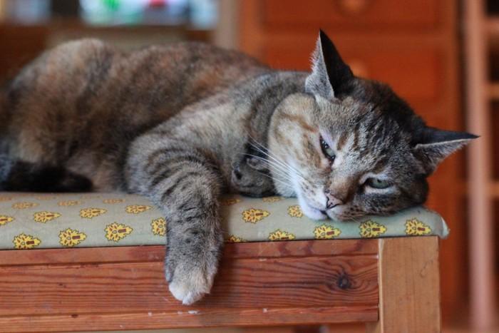 椅子で寝そうな猫