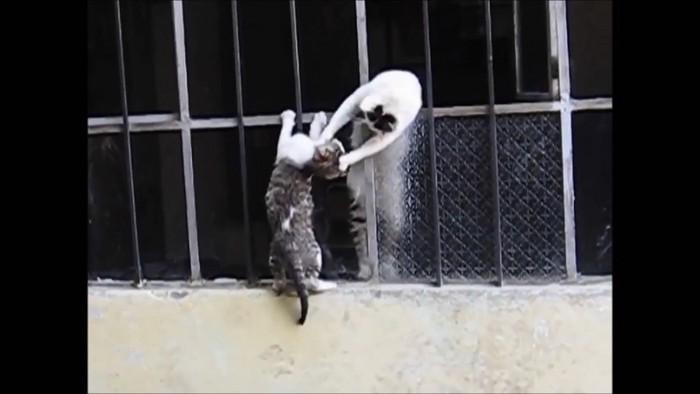 母猫が窓に手をかけて子猫を掴む