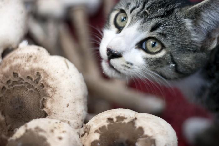 きのこを嗅ぐ猫