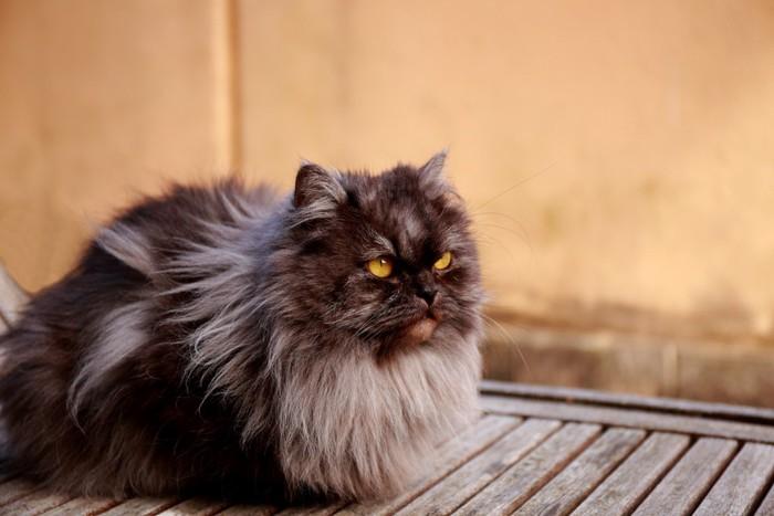 黒のペルシャ猫