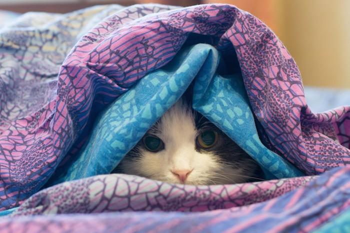 毛布に包まって顔を出す猫
