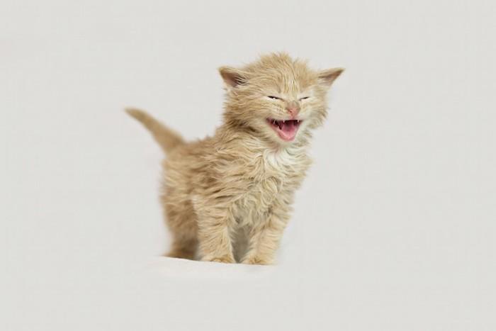 必死の表情で鳴く子猫