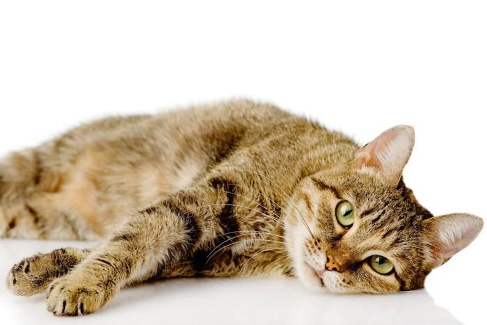 怠そうに横になる猫