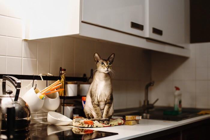 キッチンの上に座るシンガプーラ
