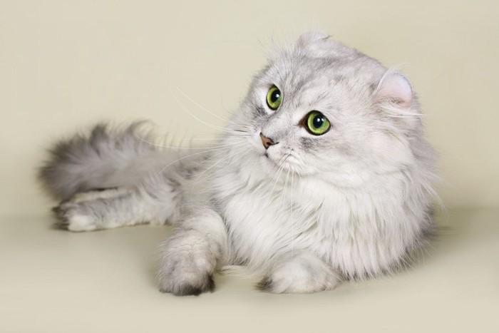 スコティッシュストレートの猫