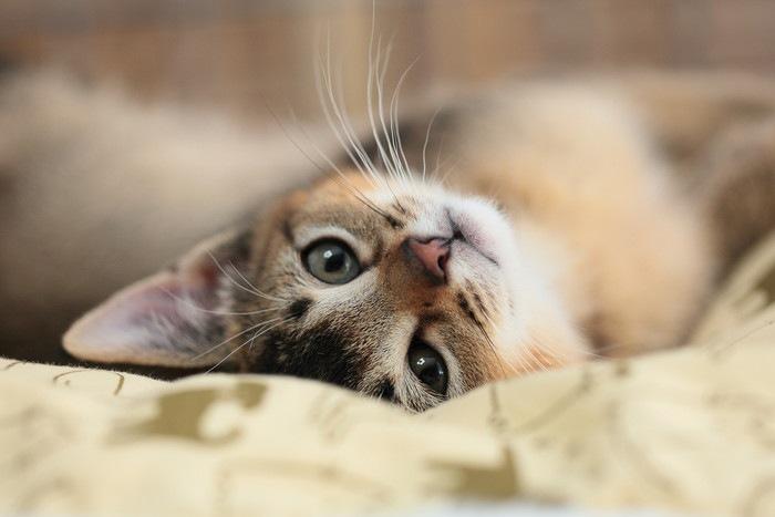 寛ぐ子猫の写真