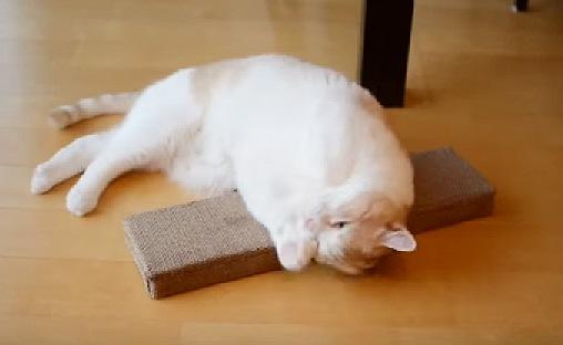 ひっくり返って酔う猫