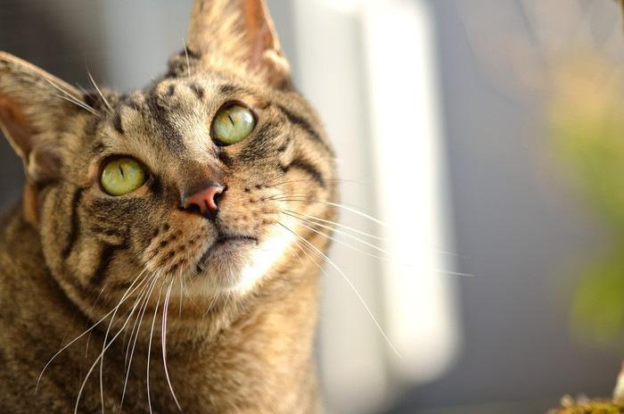 瞳孔を細める猫