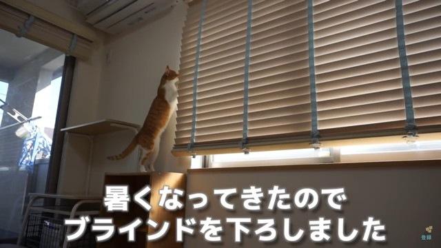 ブラインドを偵察する猫